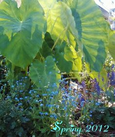Elephant Ears. Southern Cottage Garden