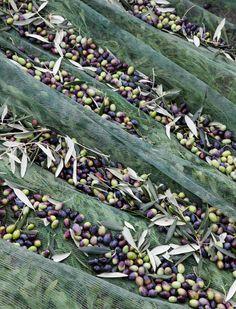 olive oil essays