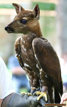 Aguila ciervo.