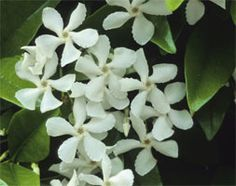 Trachelospermum jasminoides (commonly known as Star jasmine) is a joy to have in the garden. Plants are evergreen with a vigorous habit, providing quick cover for archways, pergolas and fences. During mid-summer masses of starry, white, perfumed flowers are displayed which turn cream as they mature