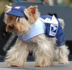 Mail delivering Yorkie..leave him a bone in the mail box 4 a snack