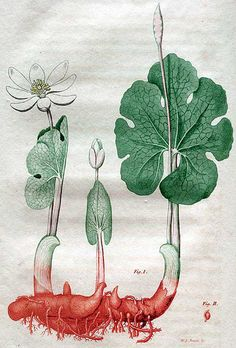 Bloodroot/ Sanguinaria canadensis  drawing by Jacob Bigelow