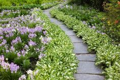"""Hosta 'Undulata"""" and Spanish Bluebells line this curved path in the shade."""
