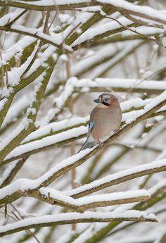 ♂ Bird lonely bird in snow Jay by Ben Andrew