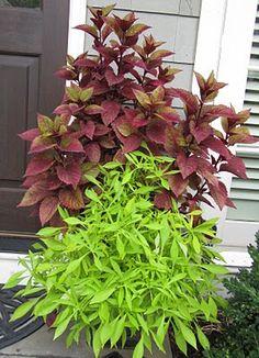 coleus and feathery sweet potato vine