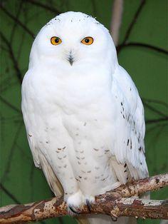 Schnee-Eule / Snowy Owl (Nyctea scandiaca) by Sexecutioner, via Flickr