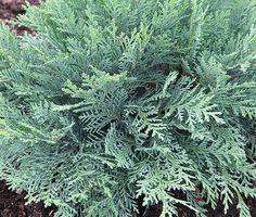 needs full sun. will look for a spot 8ft fall Chamaecyparis lawsoniana 'Oregon Blue' - Conifers › Cypress   Maplestone Ornamentals
