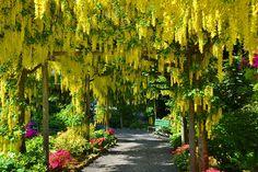 Golden Chain Tree.  #laburnum #yellow #butchartgardens