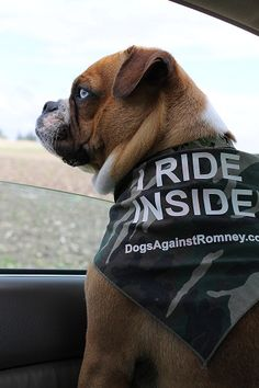 This is Franco. Franco rides inside - NOT on the roof, like Mitt Romney did to his poor dog, Seamus.