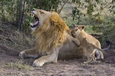 Ouch: The adult lion bares his impressive teeth as the cub appears to playfully bite his father, watched by a sibling