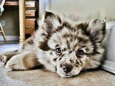 Little wolf dog♡ 》Husky/ Australian Shepherd mix.