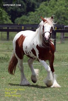 Gypsy Vanner Horses | Filly | Lion King Princess