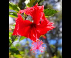 Fragile Red Hibiscus | Hawaii Pictures of the Day