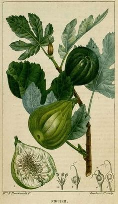 fig tree, 1820 - chaumeton & turpin