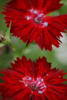 Red Velvet Dianthus