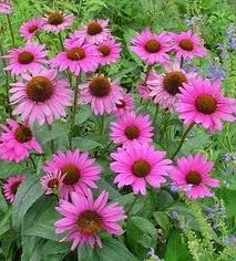 Echinacea to ward off the cold and flu