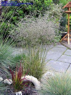Tussock Grass, Tufted Hair Grass, Hair Grass, Hassock Grass 'Northern Lights'  Deschampsia caespitosa
