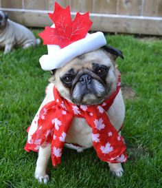 Happy Canada Day! From Bailey Puggins ♡