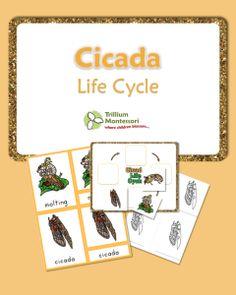 Life Cycle of a Cicada