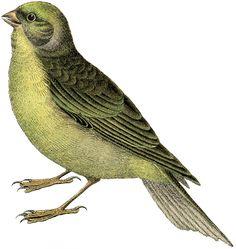 Free Vintage Bird Image Citril Finch