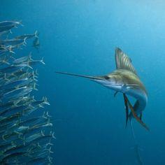 Sailfish feeding on Brazilian sardines Photographic Print by Stuart Westmorland