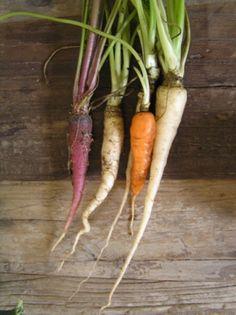 Beautiful heirloom carrots grown  at Merchant Park Community Garden via Jane McKay