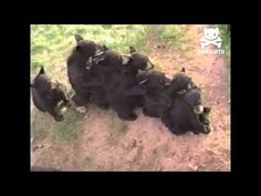 Bear cubs make love train