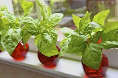 How to propagate one basil plant into many.