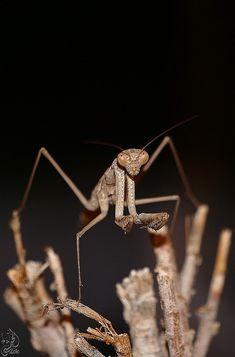 Mantis by Yousef Al-Habshi