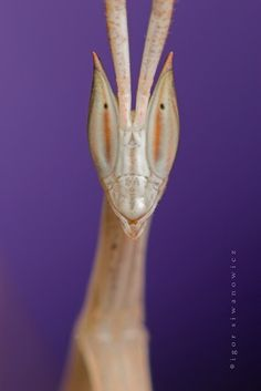 Cool Picture of Alien Insect - Insect Macro Photography - Igor Simanowicz wild, interest insect