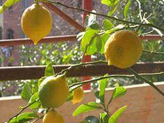 Prune a Lemon Tree