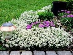 TESTING 05/22/2014 Alyssum are beautiful annuals that are fragrant. I have also been told my the garden lady at Fred Meyers on 3rd that the deer will not bother them and that they are great in handing baskets. I am putting these to a test. We will see:)