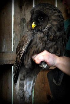 I don't always repin adorable animals, but when I do, they're usually Melanistic Ural Owls...lol!