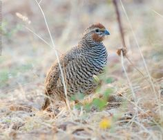 The Rock Bush Quail (Perdicula argoondah) is found in parts of peninsular India. They are very similar to and overlap in range with Perdicula asiatica. They are found in small coveys and are often detected only suddenly, when they burst out into flight en masse from under vegetation. It is 6.7–7.25 in (17–18.4 cm) in length and weighs 2.25–3 oz (64–85g).