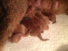 Standard Poodle puppies, 2 days old.