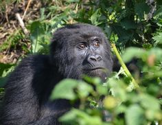 "In the Midst of Gorillas:  ""The king's name is Gukubita. It means 'beat'. But don't worry, he beats his chest not his visitors."" Our guide Eugene winks, adjusts the automatic rifle on his shoulder, and turns toward the jungle."