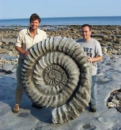 Giant ammonite fossil.
