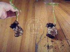Growing ginger indoors.