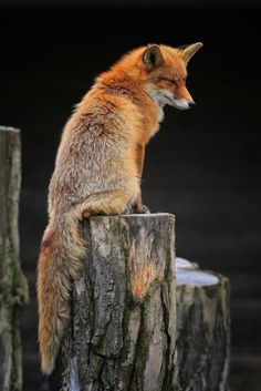 fox. They are so beautiful.