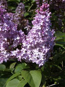 Pruning lilac shrub