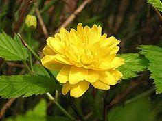 Kerria japonica #pla