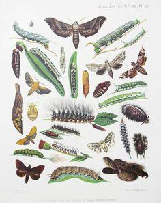colour + sound: Caterpillars fogli, entomolog, insetti, aesthet, achado, caterpillar, insect, illustr, classifi