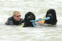 IN ACTION:    Newfoundlands rescue a volunteer from the water  as part of a demo GIIS20130609A-024_C