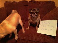 Adoptable Fridays - Duke > I want a Pug!