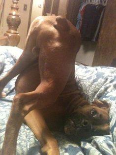 funny animals, stuff, pet, funni, boxer thing, boxers, puppi, hilarious animals, dog