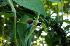 Garden Bugs: Ladybugs for Aphid Control. birdsandblooms.com