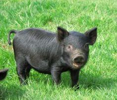guinea hog