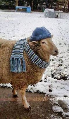 Sheep wearing hat an