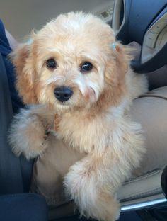 Cockapoo puppy!