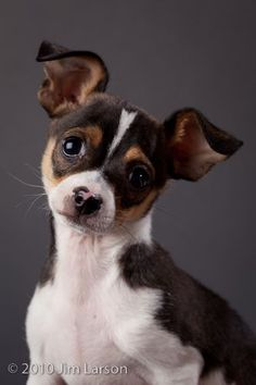 Little Cutie! rat terrier mix, little puppies, chiuaua rat, small dogs, fox terriers, rat terrior, black white, chihuahua, rat terriers